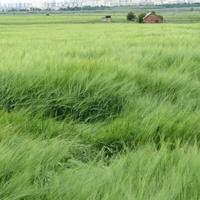 Зерновое поле