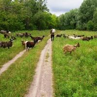 Пастух пасе свою отару.