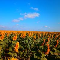 Нижньосірогозький район. Зернове. Цвіте соняшник.