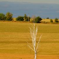 Сухая белая береза-символ умирающих русских деревень.