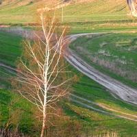Весенняя березка на фоне  зеленой апрельская тени в Скородном.