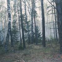 Березняк у дороги севернее Илкодино. 2004г.