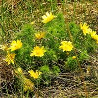 Адонис весенний (лат. Adonis vernalis)