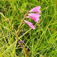 Шпажник тонкий, или Гладиолус тонкий (лат. Gladiolus tenuis)