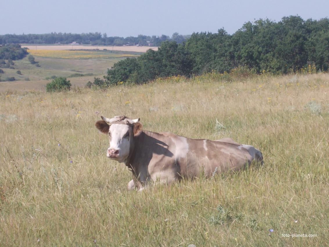 Корова на пастбище. | Новая Водолага (Нововодолажский район)