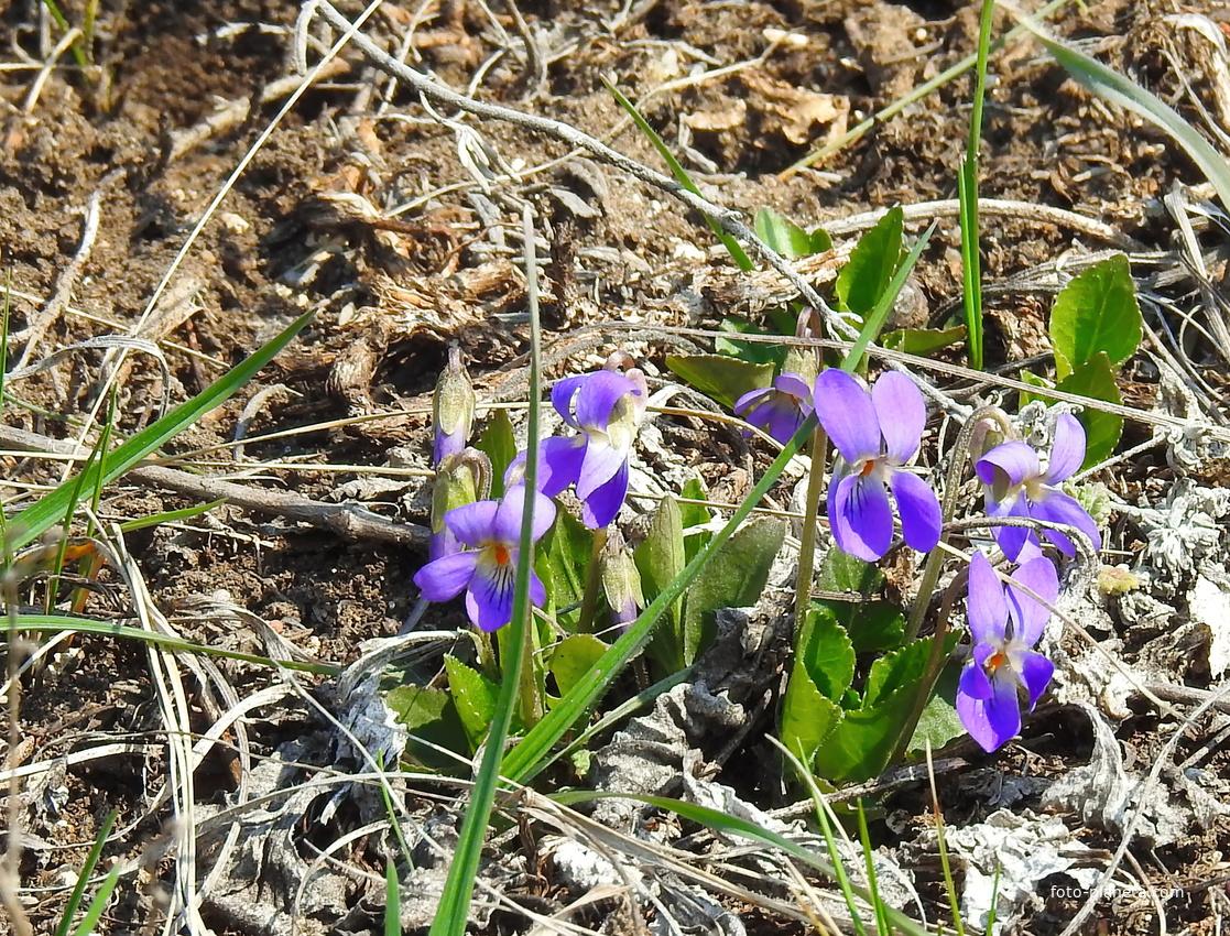 Фиалка сомнительная (лат. Viola ambigua)