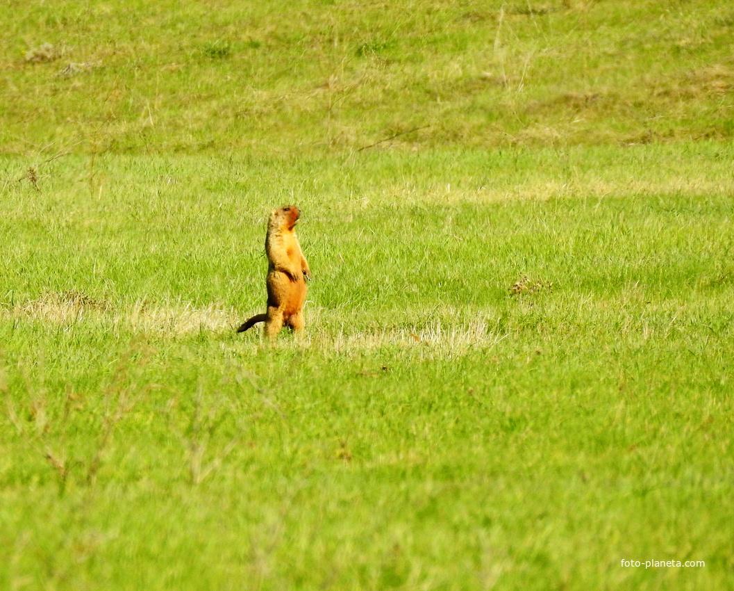 Сурок степной (лат. Marmota bobak)