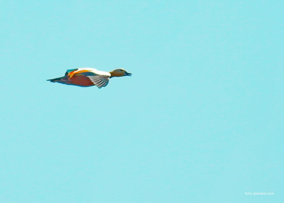 Огарь, или красная утка  (лат. Tadorna ferruginea)