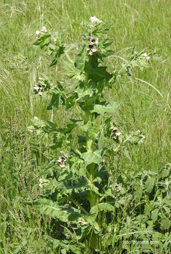 Белена чёрная (лат. Hyoscyamus niger)
