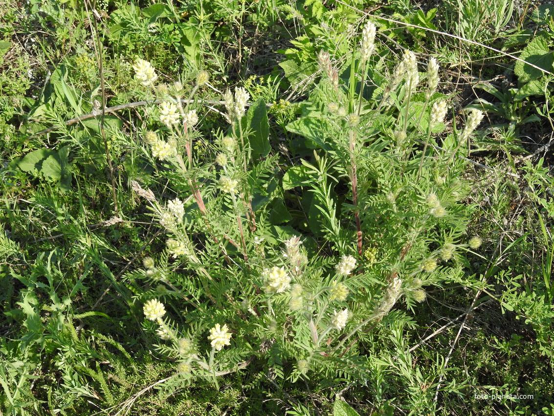 Остролодочник волосистый (лат. Oxytropis pilosa)
