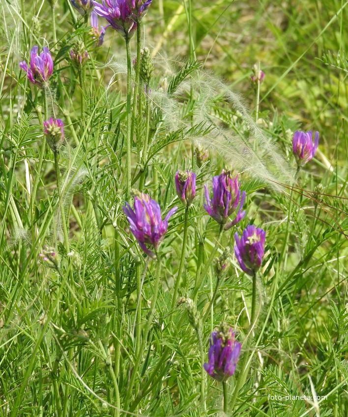 Астрагал эспарцетовый (лат. Astragalus onobrychis)