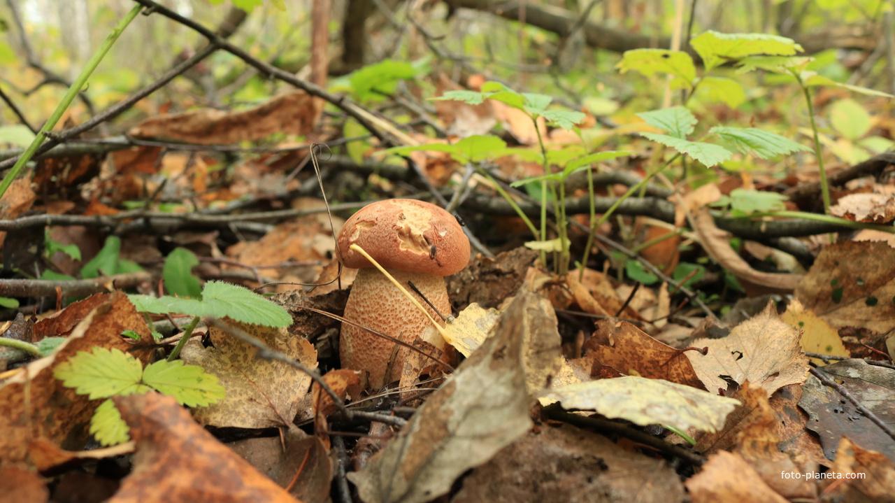 Осенний подосиновик