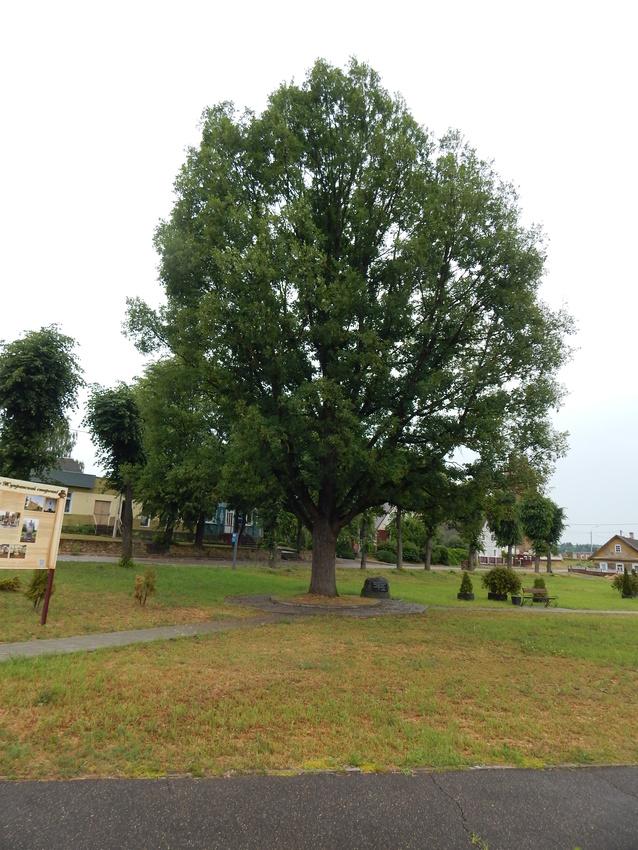 В сквере около костела растет большой дуб