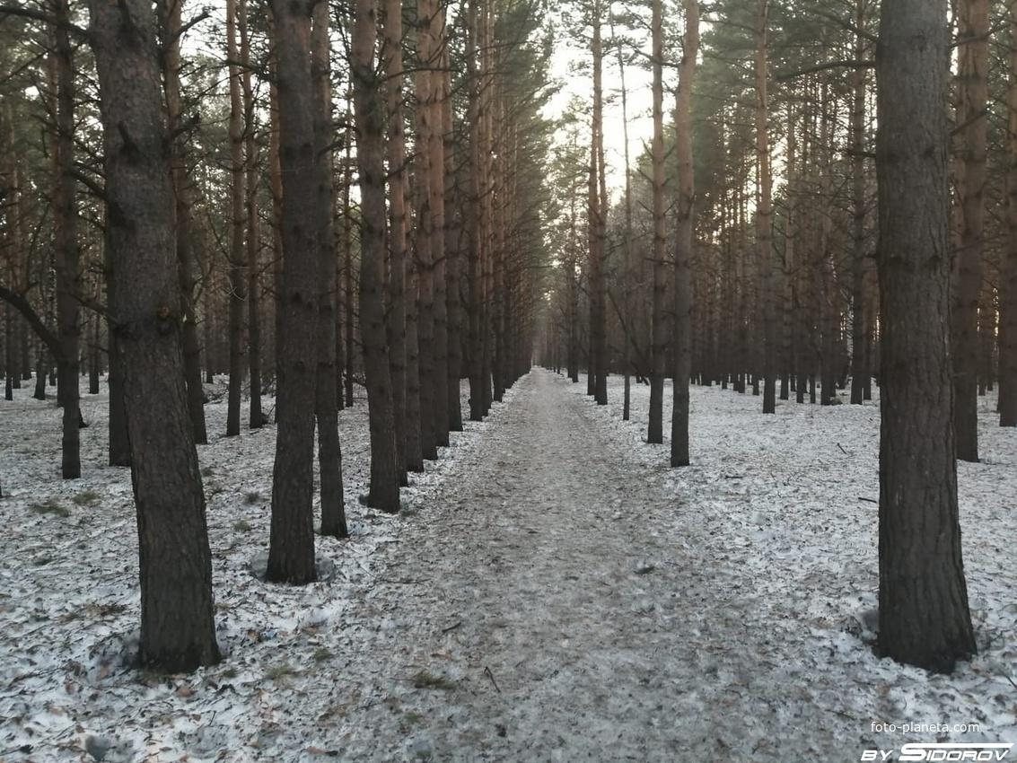 Пешеходная дорожка в сосновом бору. Лесной городок
