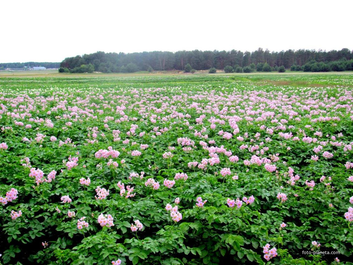 картофельное поле фото