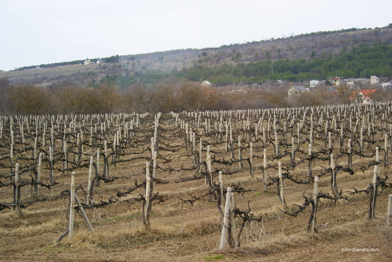 Балаклава.Виноградник в апреле.