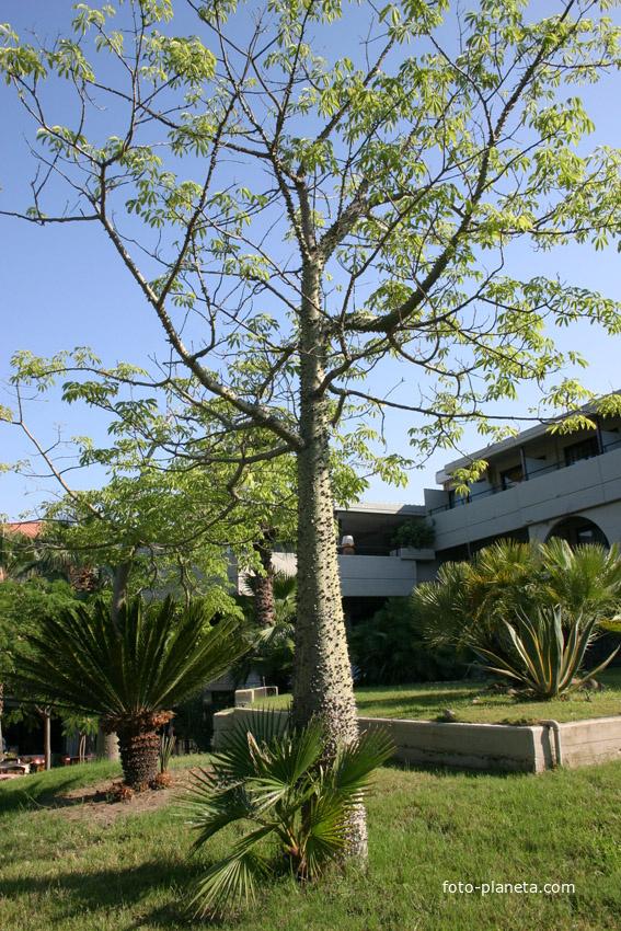 Колючее дерево