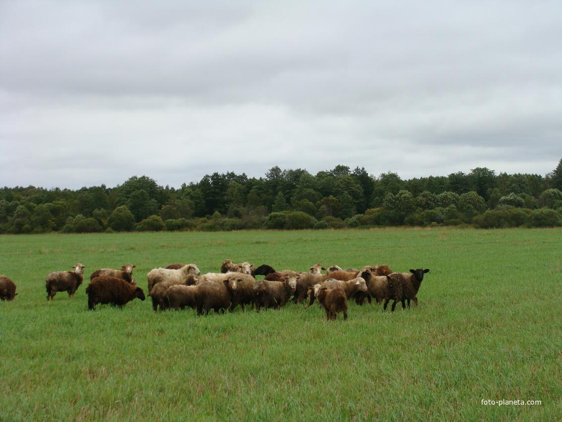 Домашний скот | Пищулино (Калининский район)