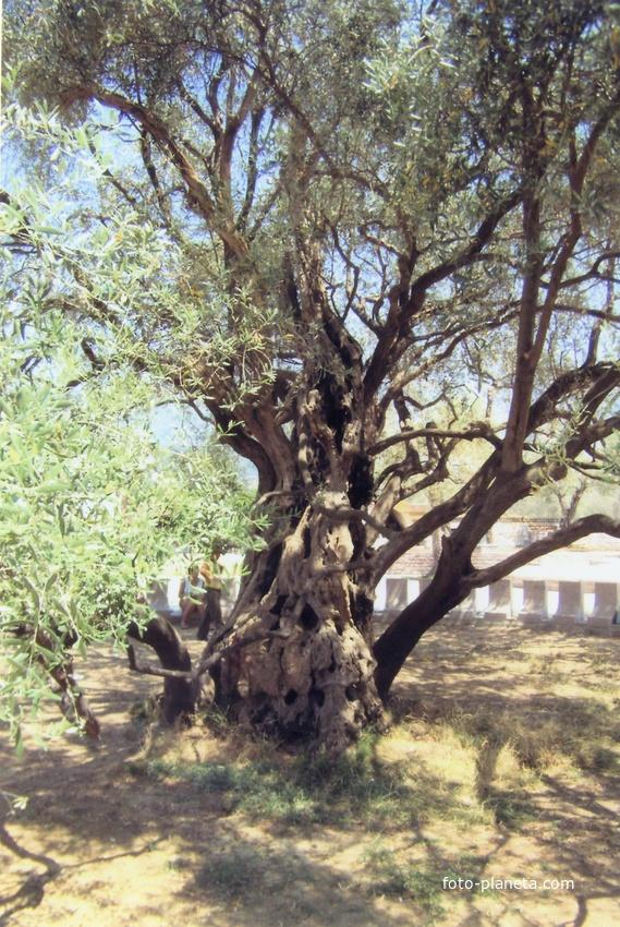 Маслина, которой уже более 2000 лет. Другой ракурс