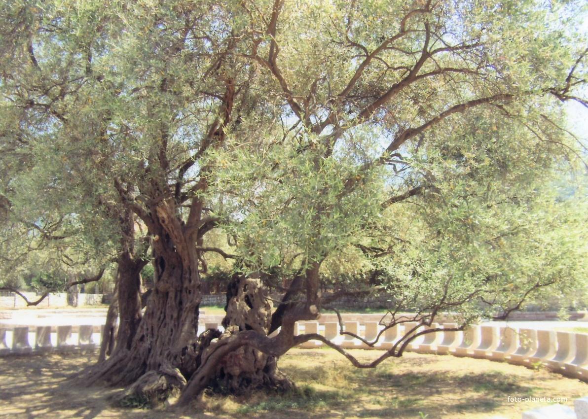 Маслина, которой уже более 2000 лет, другой ракурс