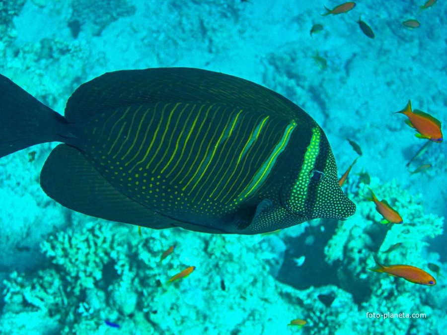 Одна из разновидностей рыбы-хирурга - Парусоплавничная зебросома, с острыми костяными выростами с боков около хвостового плавника.