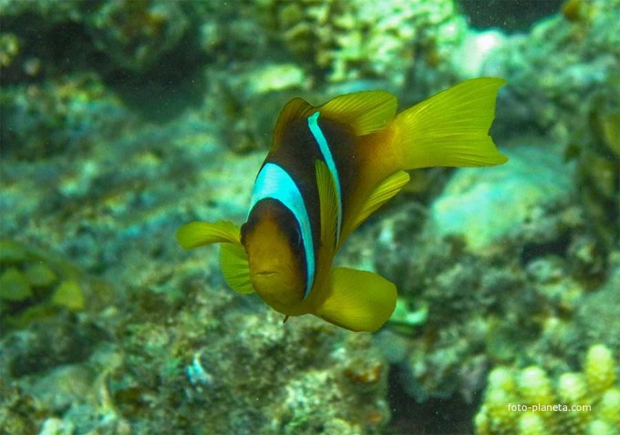 Рыба - Клоун. Всеобщий любимец. Славится отвагой и бесстрашием в защите своего жилища - анемоны.
