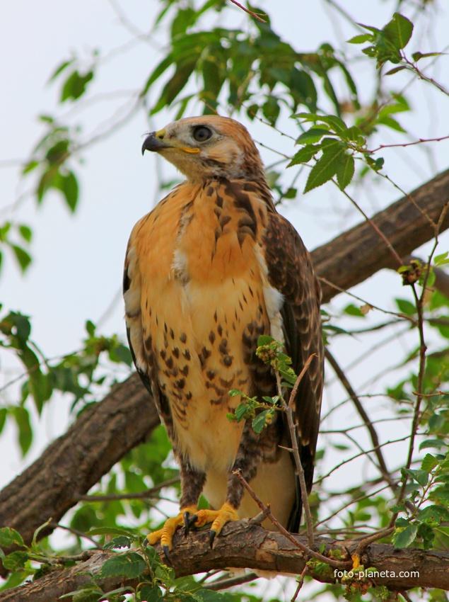 Степной орёл | Бырка (Приаргунский район)