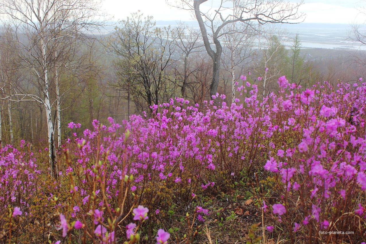 Весна. Цветущий багульник (рододендрон)