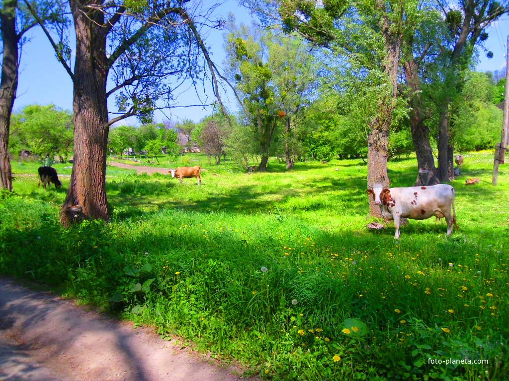 Любопытные коровы.