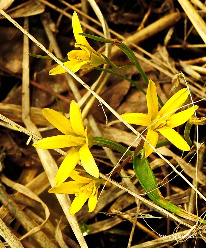 Гусиный лук, или Гагея жёлтая (лат. Gagea lutea)