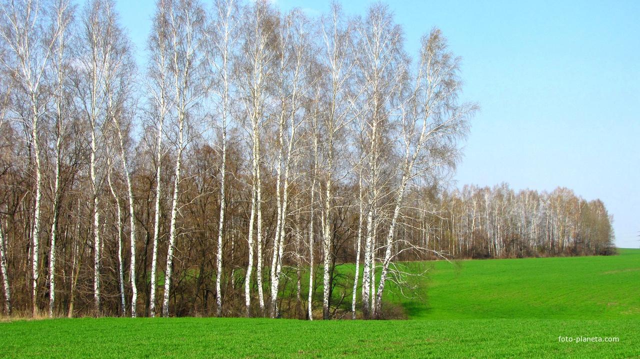 Скороднянские березки гуляют в зеленом поле.